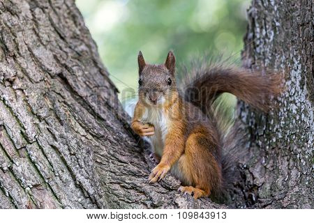 Red Squirrel Sitting On A Tree Trunk