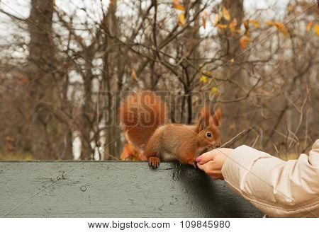 Squirrel Eaten From The Hand Of Man.horizontal.