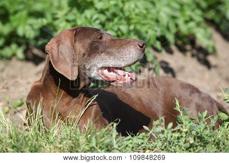 Beautiful Of German Shorthaired Pointer