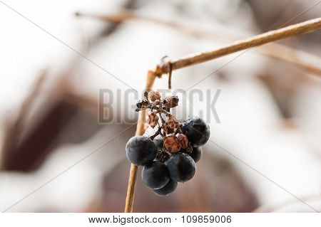Red grapes in the snow
