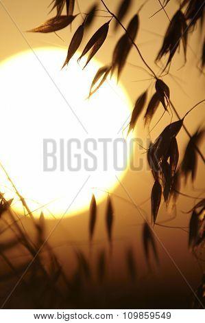 Oat On A Sundown Background