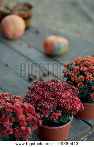 red chrysanthemums in pots