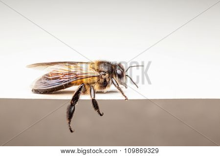 Bee In Close Up