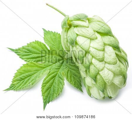 Hop cones. Isolated on white background.