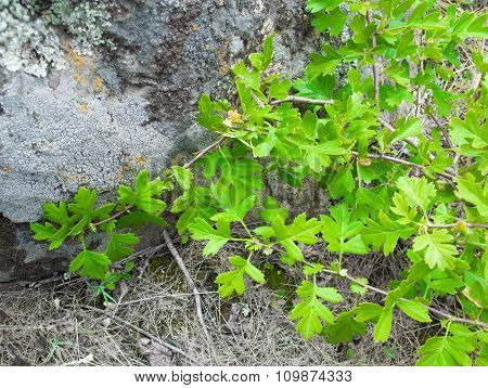 Branch Of Leaves On A Background Of Granite And Moss