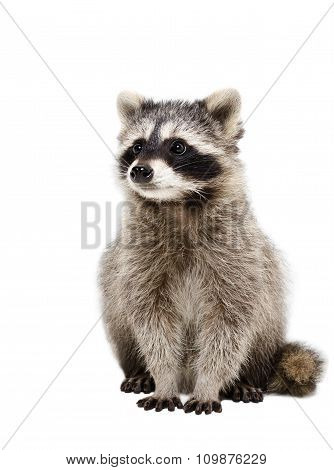 Portrait of adorable raccoon