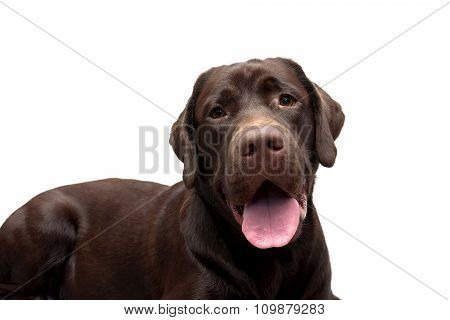 Chocolate Labrador Close Up On A White Background