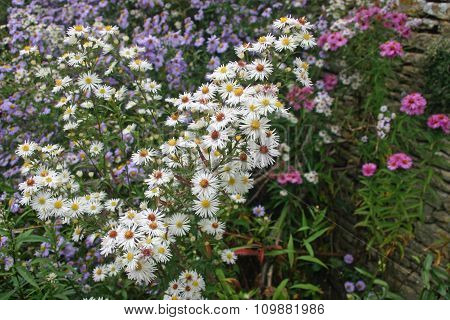 Mixed colour aster flowers