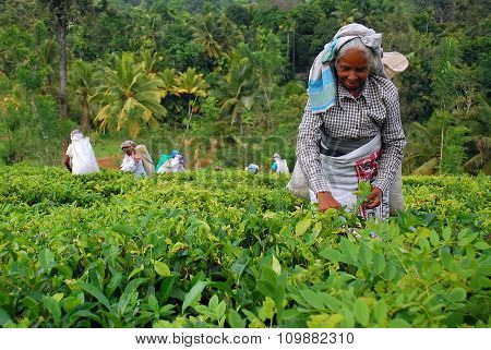 Tea Workers At The Tea Plantation In Sri Lanka
