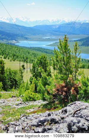 Young cedar on the pass Ulagansky