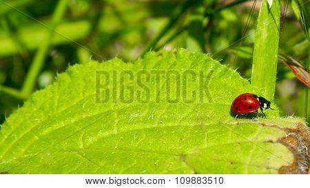 Ladybird Walking By A Green Leaf, Spain