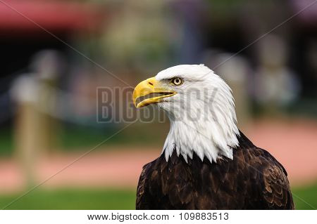 Bald Eagle Profile Beak Open