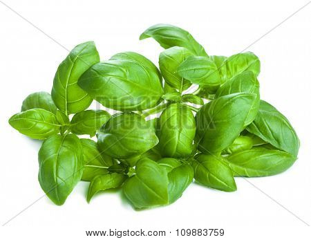 fresh basil leaves herb isolated