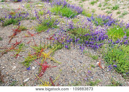 Paints alpine flowers