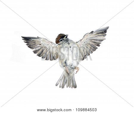Fly Up Sparrow Isolated