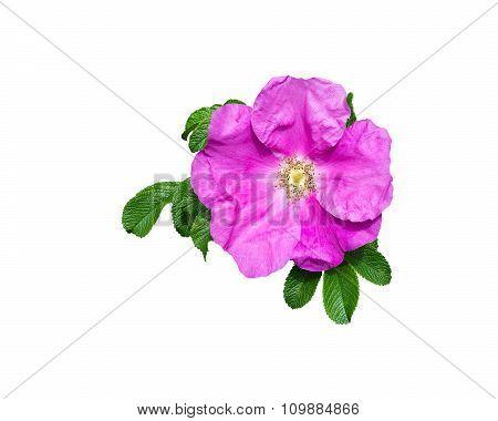 Pink Rock Rose Closeup