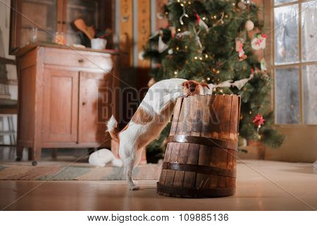 Dog Breed Jack Russell Terrier Holiday, Christmas