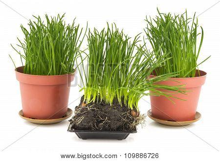 Green Grass In Brown Pot, Soil