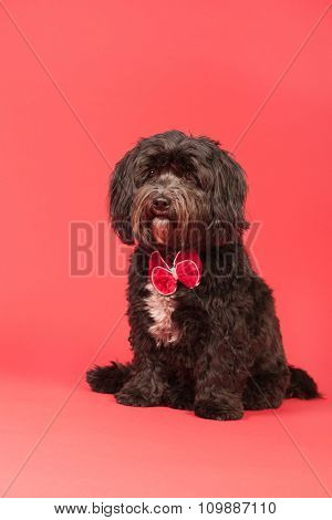 Little black Tibetan Terrier on with Christmas bow on red background