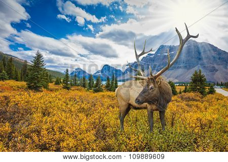 The picturesque Rocky Mountains and lush autumn yellow and orange vegetation. Red deer on the bank of azure lake