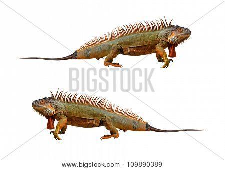 Iguana Isolated On White