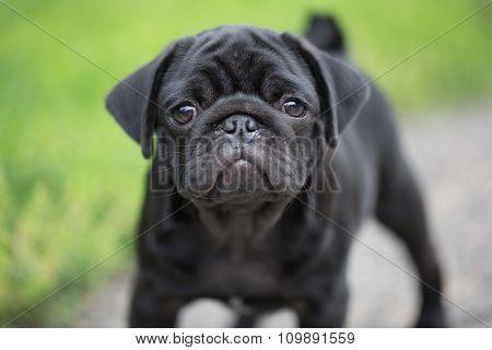 Little black pug puppy