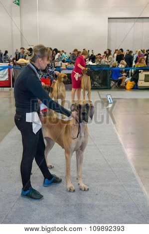 MOSCOW, RUSSIA - NOVEMBER 1, 2015: Exhibitors showing their pets during International Dog Show CACIB-FCI on November 1, 2015 in Moscow, Russia
