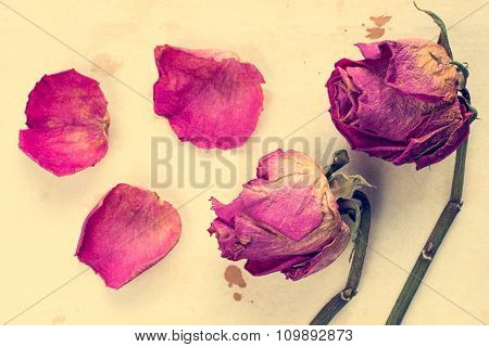 Withered Roses With Fallen Petals