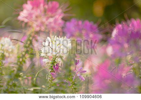 spiny spider flower landscape