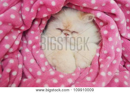 Himalayan Cat Sleeping