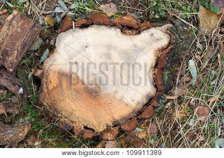 Top View Of A Fresh Cut Tree Stump On The Forest