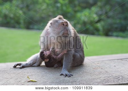 Macaque And Her Baby