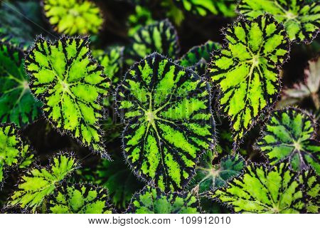 Leaves of decorative Begonia