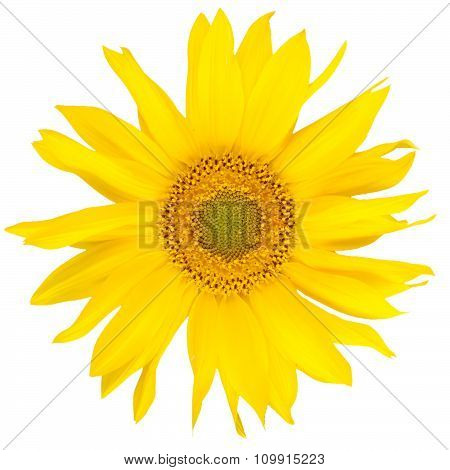 Beautiful Yelow Sunflower