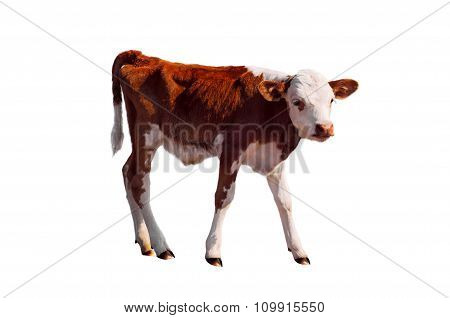 Young Calf Isolated On White.