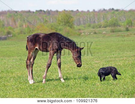 Little pedigree bay foal and dog