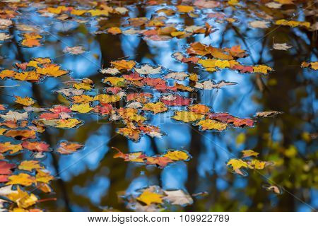 Autumn maple leaves floating in a pond of still water.