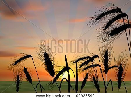 illustration with group of wheat ears on sunset background