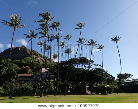 Tall Coconut Trees And Grass Field At Leahi Beach Park