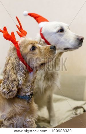 Pedigree dogs dressed beautifully for Christmas and New Year