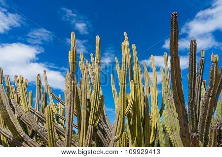 Stem succulents, calm cactus and blue sky with space for text