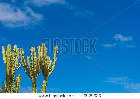 Euphorbia cactus with blue sky and copy space