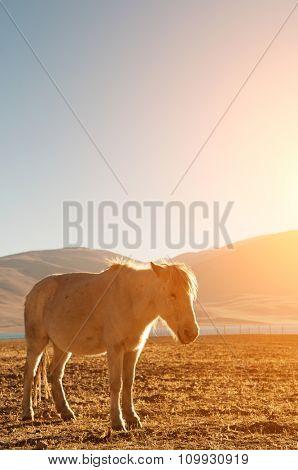 Horse at Tsomoriri lake with golden sunlight, Ladakh, northern India.