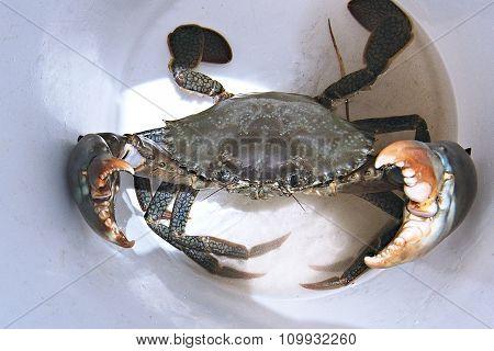 Aggressive Live Mud Crab