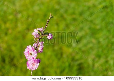 Blooming cherry with copy space