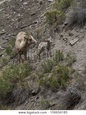 Big Horn Sheep Mom and Baby