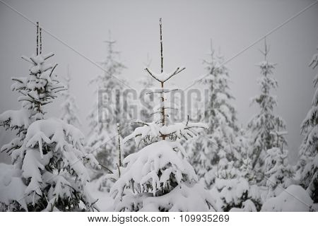 christmas evergreen spruce pine tree in nature  covered with fresh snow, frost and ice