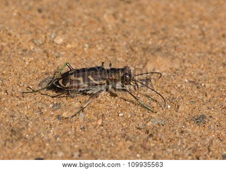 Oblique-lined Tiger Beetle
