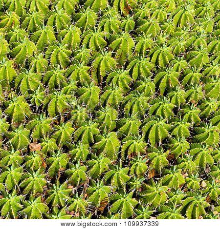 Round Euphorbia cactus texture close up