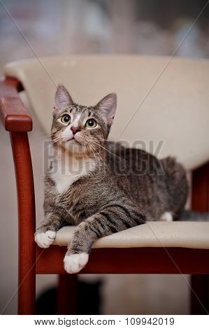 The Domestic Striped Young Cat On A Chair.